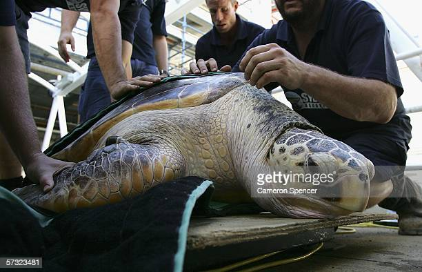 'Tommy' a 20 year old leatherback turtle is measured prior to entering the tank at Sydney Aquarium April 12 2006 in Sydney Australia The leatherback...