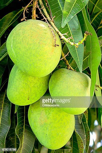 tommy mango - crmacedonio stock-fotos und bilder