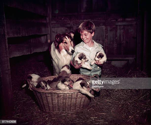 Tommy Rettig who plays his young master forms a mutual admiration society with Lassie over the famed canine star's latest accomplishmenta 10 pup...