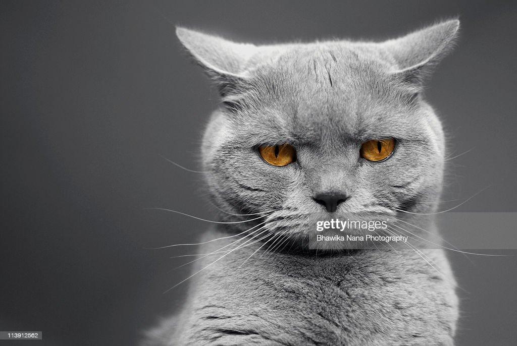 British Shorthair cats with orange eye's.