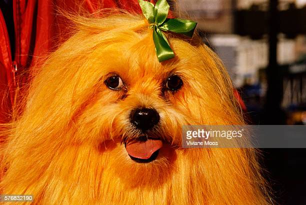 Tommy the Lhasa apso has been dyed yellow by Dawn Animals Inc