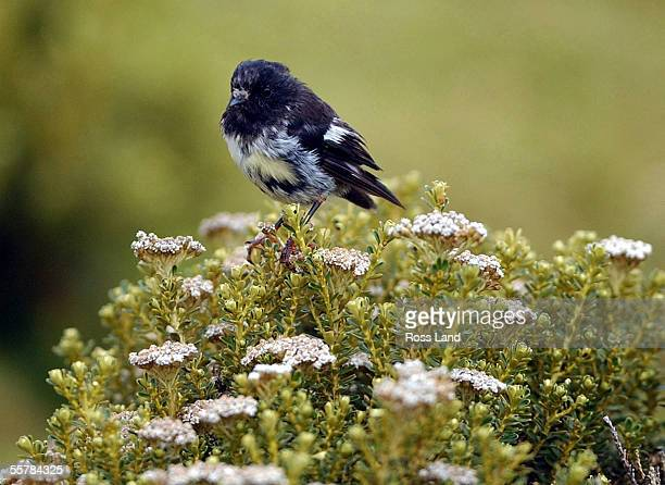 Tomtit birf rests on a Cassinia bush on Enderby Island in the subantarctic Auckland Islands group 476 kilometres from the southern tip of New...