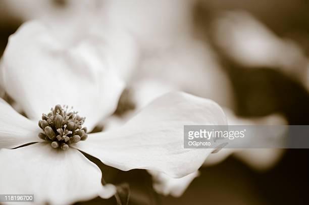 toned dogwood blossom - ogphoto bildbanksfoton och bilder