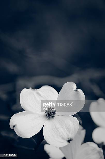 toned dogwood blossom - dogwood blossom stock pictures, royalty-free photos & images