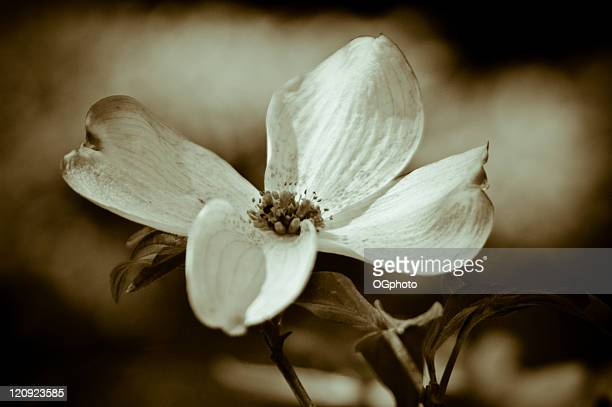 toned flowering dogwood - dogwood blossom stock pictures, royalty-free photos & images