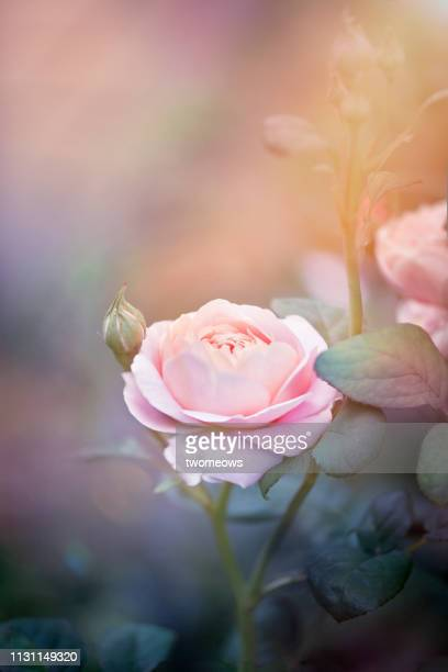 toned image of pink lilac colour rose blossom. - rose colored stock pictures, royalty-free photos & images