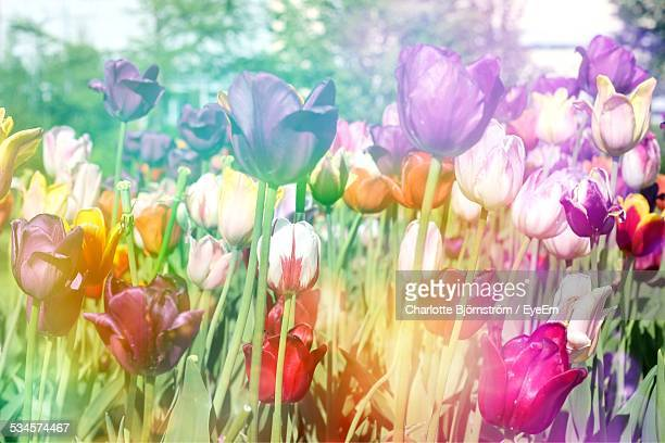 Toned Image Of Tulips In Front Yard