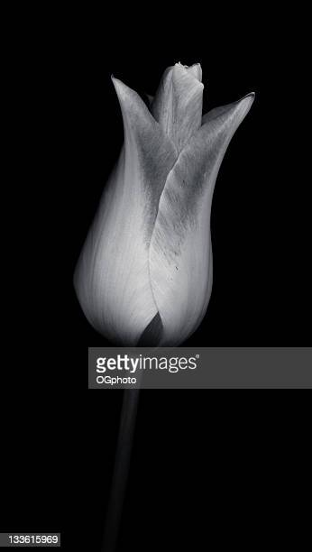 toned monochrome tulip isolated against black - ogphoto stock pictures, royalty-free photos & images