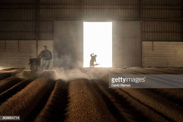 Toni Roig works drying 'chufas' at the Greses SA dryer warehouse on January 18 2016 in Valencia Spain According to the Valencia's Tiger Nut...