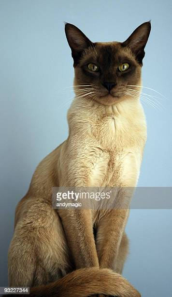 tonkinese cat - siamese cat stock pictures, royalty-free photos & images