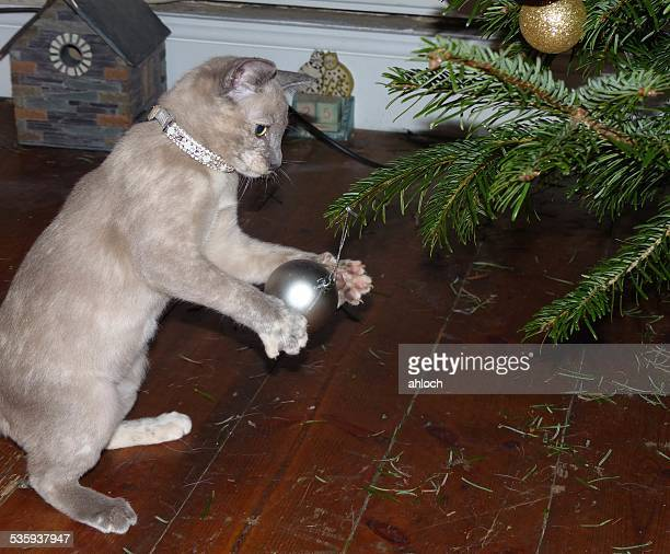 Cute Tonkinese kitten playing with a bauble on the Christmas Tree
