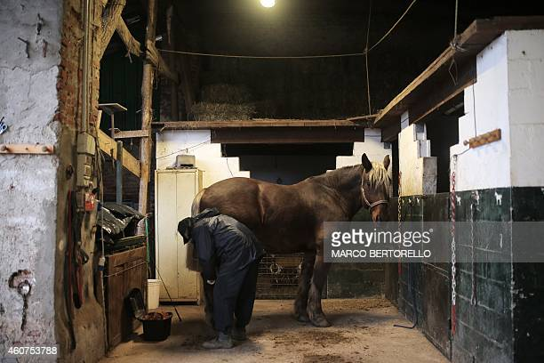 MACKINNON Tony Gerardi of the association L'estancia which supports the project Save the Working Horse cleans his horse Snoby du Mulin saved from the...