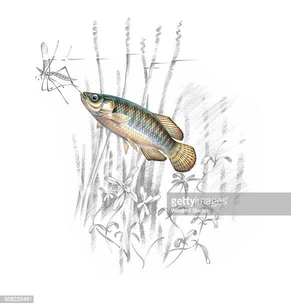 A Toothcarp feeding on an insect