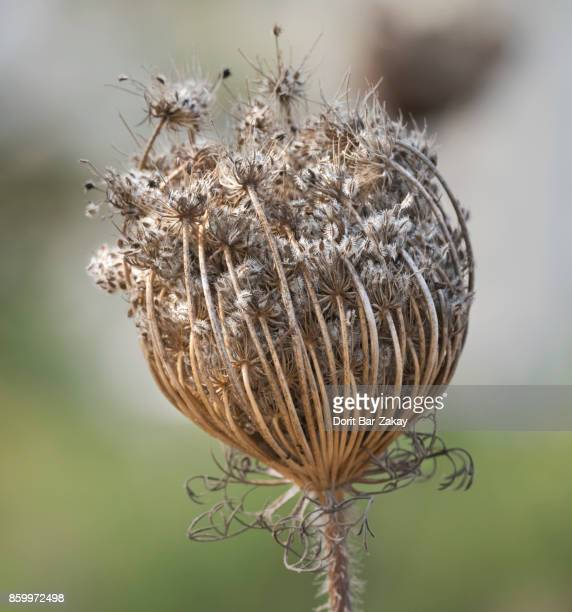 Toothpick / Bishop's weed (Ammi visnaga)