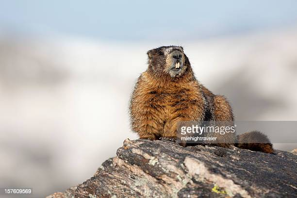 toothy yellow-bellied marmot rocky mountain national park - woodchuck stock pictures, royalty-free photos & images