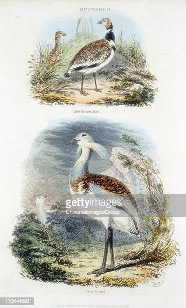 Top Male Little Bustard Bottom Great Bustard The Great Bustard became extinct in Britain in about 1830 as its habitat disappeared A programme of...