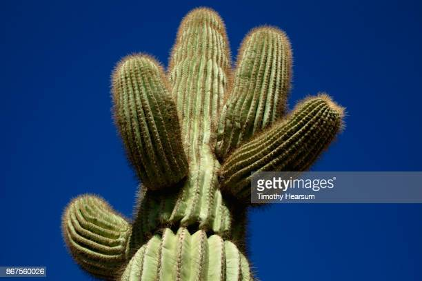 Top portion of a saguaro cactus against a deep blue sky
