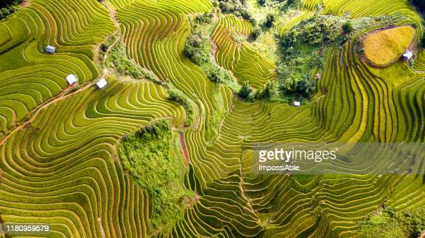 top view from drone of green rice terrace field with shape and pattern at mu cang chai, vietnam - rice paddy stock pictures, royalty-free photos & images