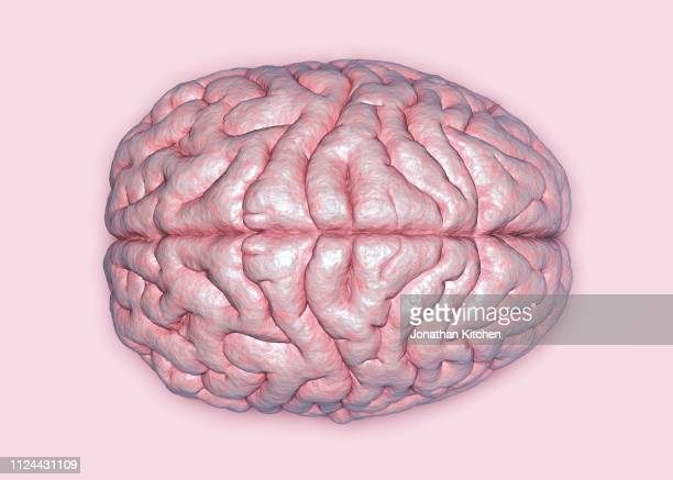 top view of a brain - cerebrum stock pictures, royalty-free photos & images