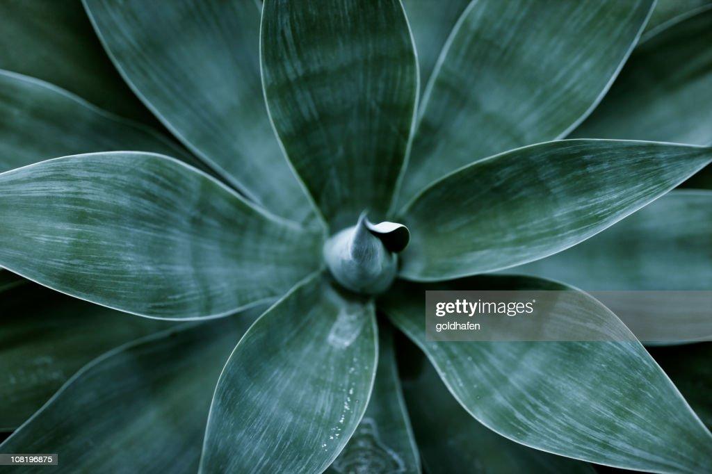 Pianta di Agave foglie : Foto stock