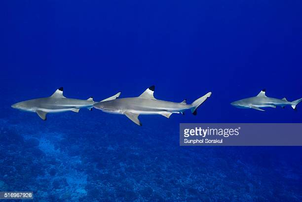 Top view of Blacktip Reef sharks school