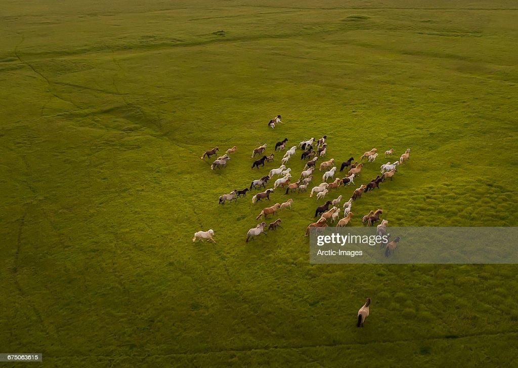 Top view of Horses Running : Stockfoto