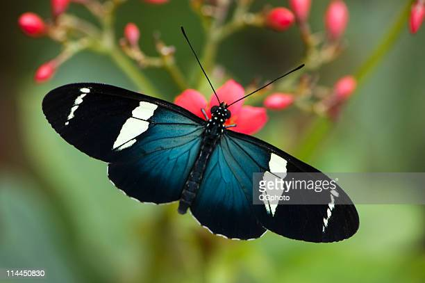 Top view of Sara Longwing Butterfly