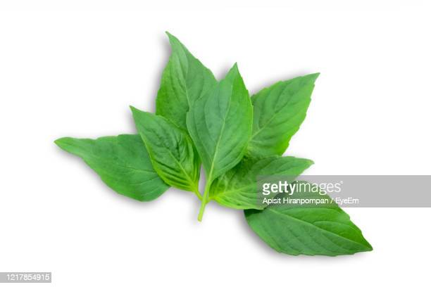 top view of sweet basil leaf, aromatic herb for cooking, against white background. - apisit hiranpornpan stock pictures, royalty-free photos & images