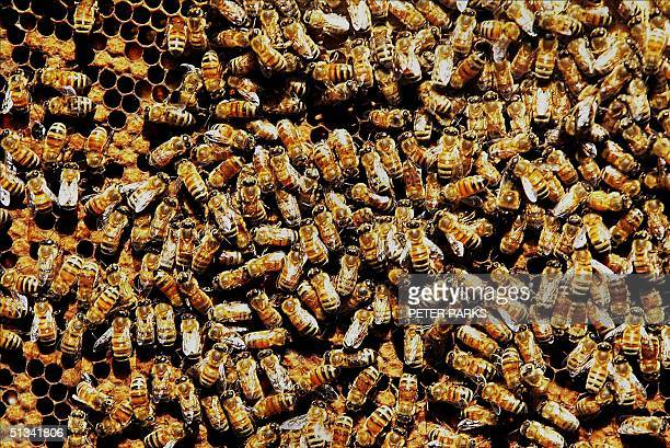 A top view of worker bees that were breed by selftaught Bee Therapist Peter Leung Oi in Hong Kong March 2002 to use in his bee sting treatment on...