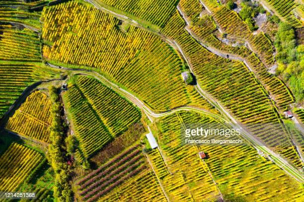 top-down high angle view of vineyards in autumn. - italia stockfoto's en -beelden