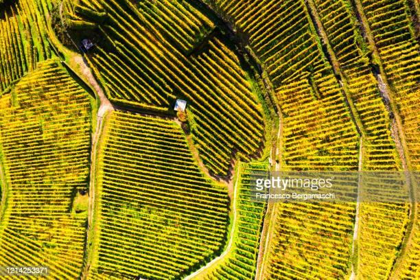top-down high angle view of vineyards, in autumn. - italia stockfoto's en -beelden