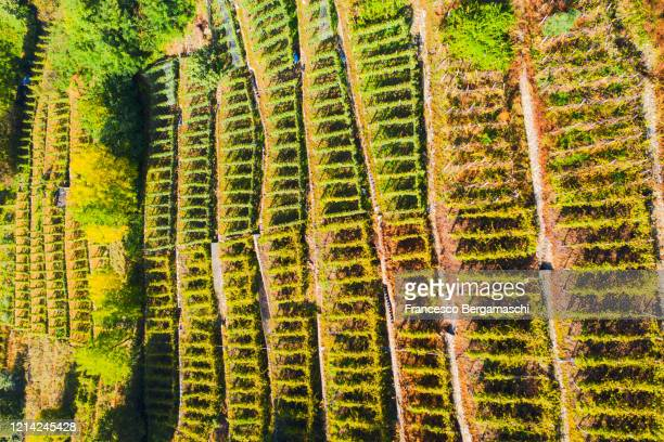 top-down high angle view of vineyards - italia ストックフォトと画像