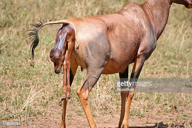 topi antelope giving birth - placenta stock photos and pictures