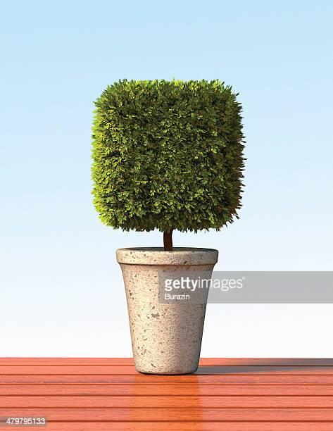 topiary cube plant - トピアリー ストックフォトと画像