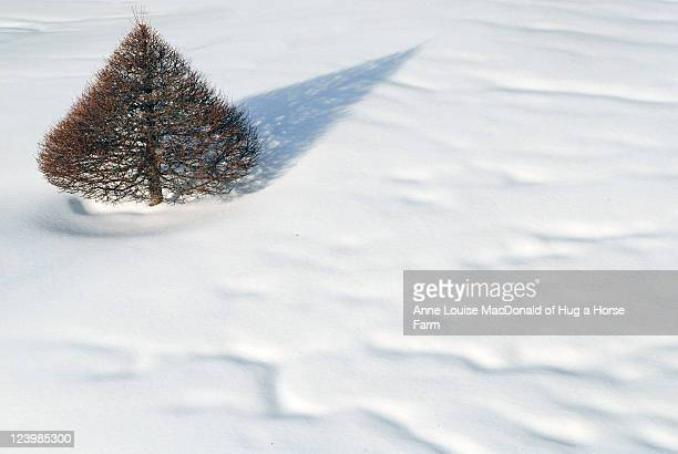 Topiary larch and pointed shadow on drifted snow