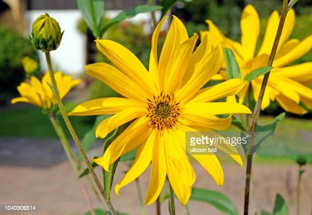 Topinambur Helianthus tuberosus eine der wichtigsten Nahrungs und Energiepflanzen aus Suedamerika auch attraktiv als Zierstaude im Garten