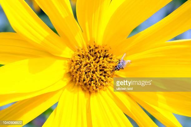 Topinambur Helianthus tuberosus eine der wichtigsten Nahrungs und Energiepflanzen aus Suedamerika auch attraktiv als Zierstaude im Garten mit Fliege...