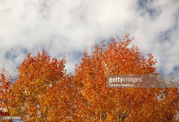 tops of bright orange aspen trees in the fall; cloud filled sky above - timothy hearsum stock pictures, royalty-free photos & images