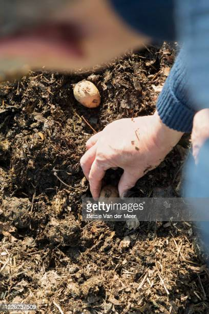 topview of man planting patato seedlings in earth. - plant stock pictures, royalty-free photos & images