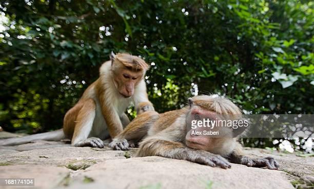 a toque macaque grooming a companion. - alex saberi stockfoto's en -beelden