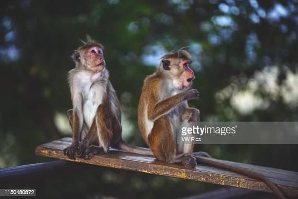 Toque macaque monkeys in Sigiriya Sri Lanka