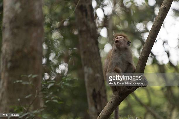 toque macaque monkeys in udawattakele, kandy, sri lanka - lanka stock pictures, royalty-free photos & images