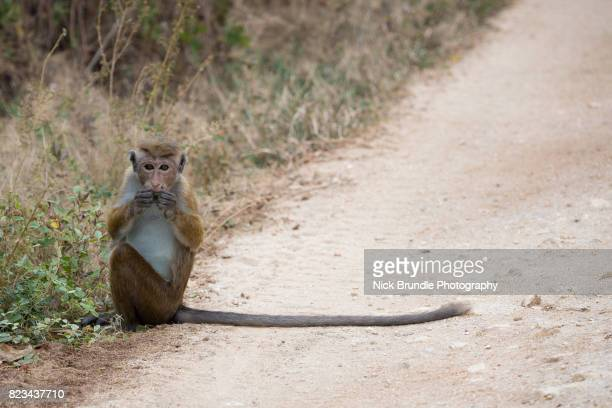 toque macaque, udawalawe national park, sri lanka - rock formation stock pictures, royalty-free photos & images