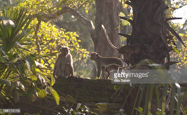 toque macaques in a jungle. - alex saberi stock pictures, royalty-free photos & images
