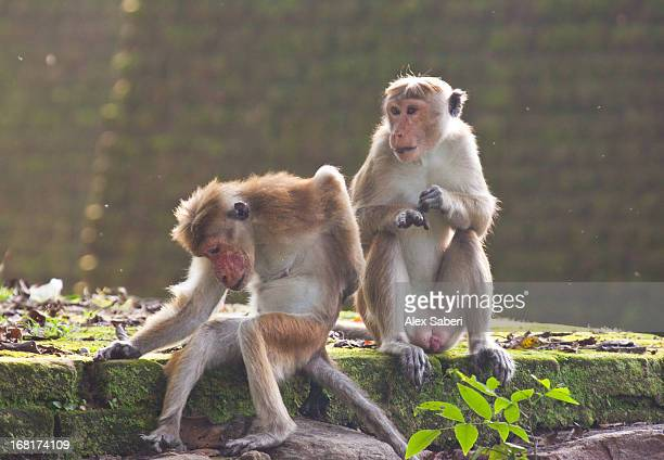 toque macaques, one scratching. - alex saberi stockfoto's en -beelden