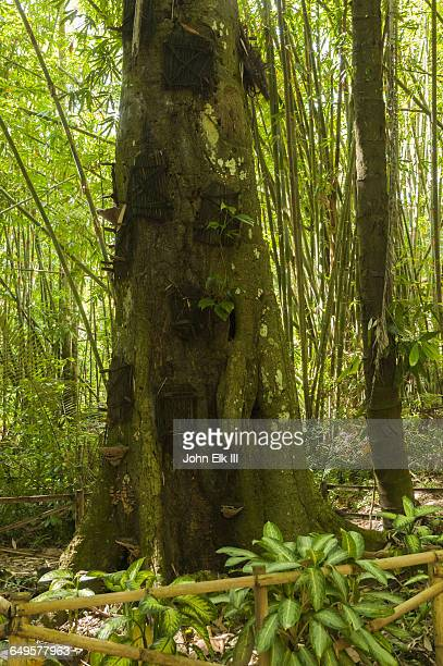 Torajan infant tree burial