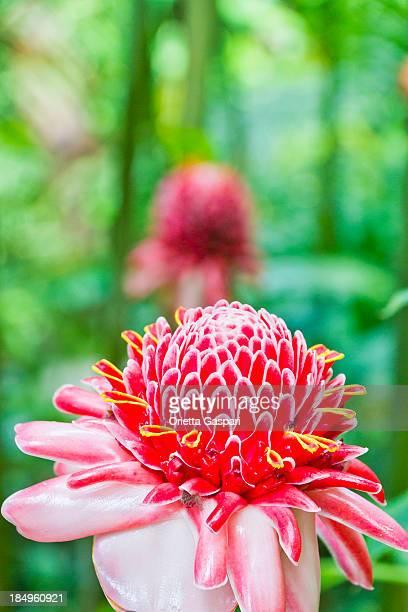 zenzero torcia, etlingera elatior - fiore di zenzero foto e immagini stock