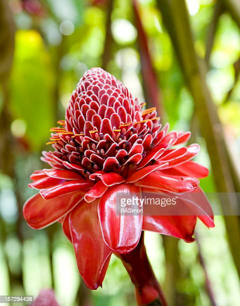 Torch Ginger In The Wild