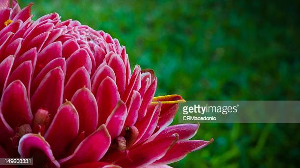 torch ginger - crmacedonio foto e immagini stock