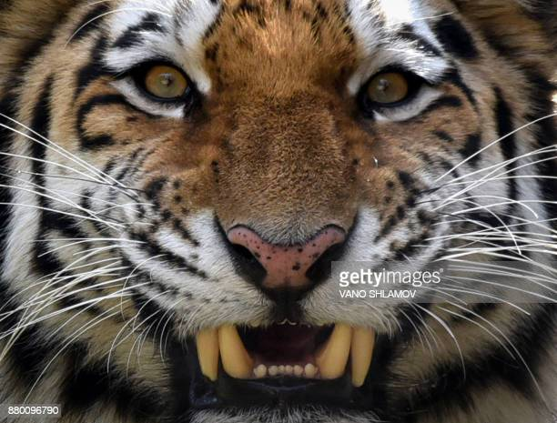 Tori a twoyearold male Siberian tiger also known as Amur or Ussuri tiger growls in its enclosure at a zoo in Tbilisi on November 27 2017 / AFP PHOTO...